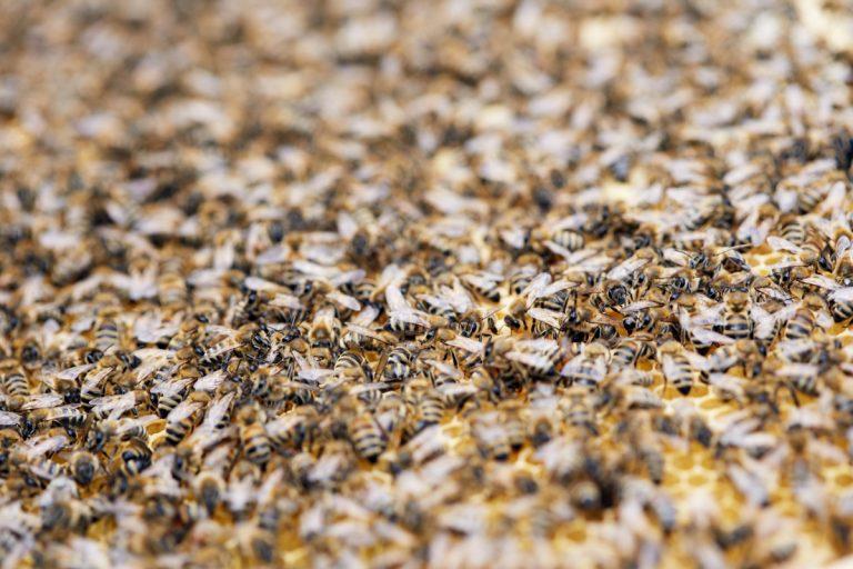 Jak pszczoły cofają czas - rewersja procesu starzenia
